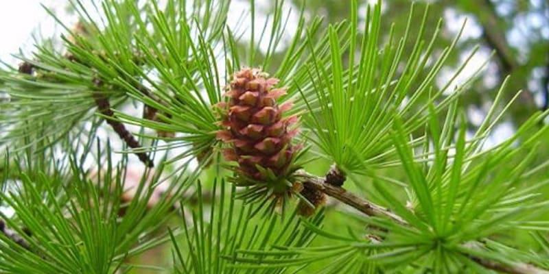 Фитонцидные свойства растений